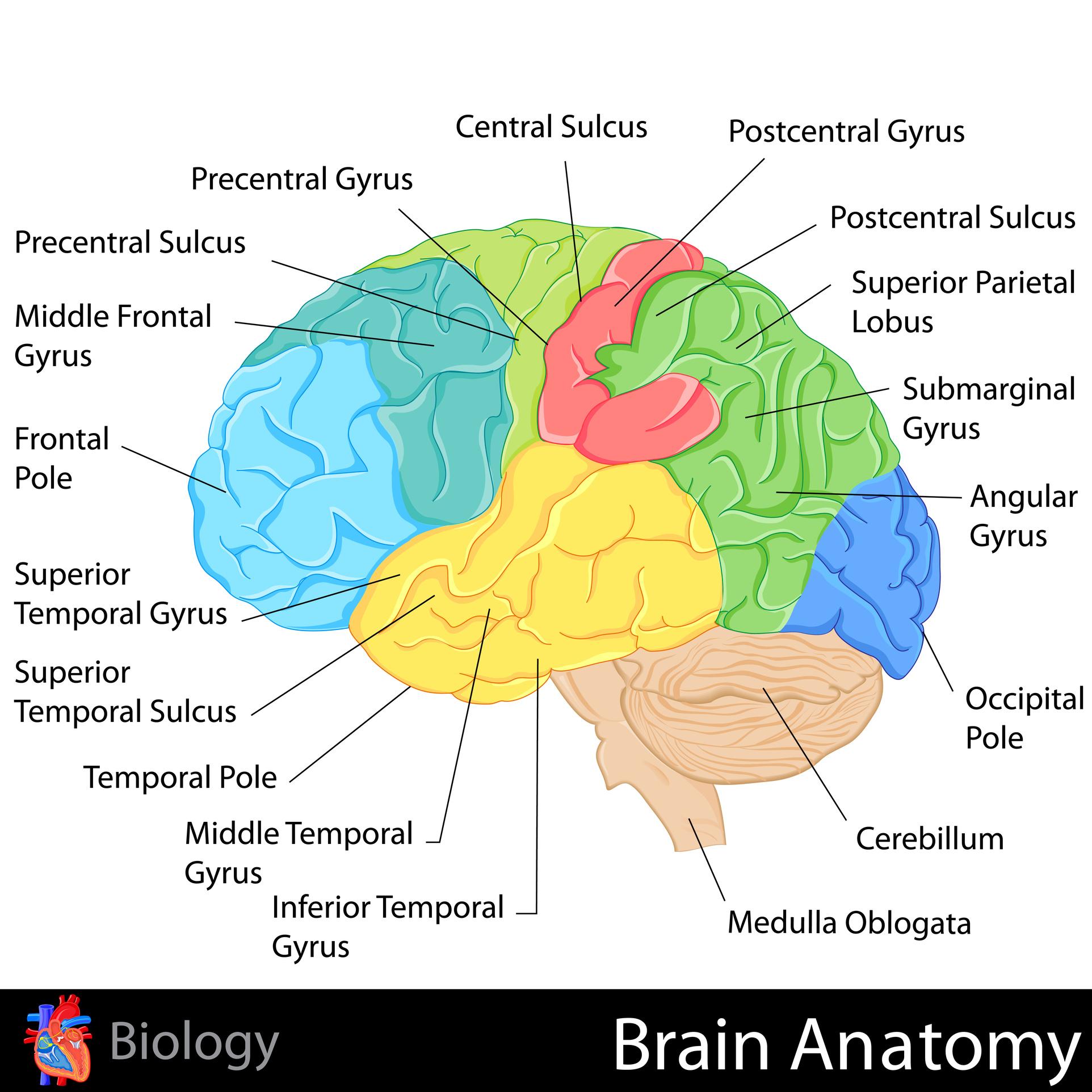 Brain Anatomy Space Coach